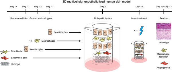 Figure 6: Composition and generation scheme of 3D skin model that comprises macrophages and endothelial cells. The figure is derived from a recent own publication. 5