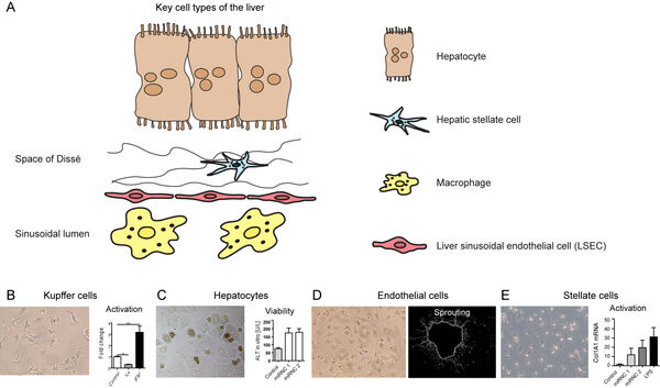 Figure 3: Key liver cell types. (A) Schematic depiction of liver cell types. (B-E) Representative micrographs of representative cells in cell culture. (B) Response of Kupffer cells (modelled by bone marrow macrophages) to typical stimuli like interferon gamma and interleukin 4. (C) Hepatocytes after 24 hours of culture on collagen-coated plates, serving as a reporter of viability. (D) Liver sinusoidal endothelial cells in culture plate (left side) and derived from aortic sprouts (right side). (E) Hepatic stellate cells with recognizable lipid droplets and activation in cell culture. Unpublished own figure.